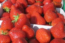 Dämpfen abgedeckter Erdbeer-Dämme erfolgreich getestet